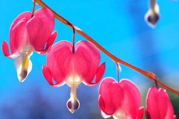 The heart shaped pink and white flowers of Bleeding Heart. Lyre flowers on background of blue sky as music conceptual picture. Dicentra flower is blossom in the beautiful day, in the morning time.