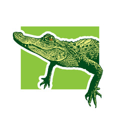 Young American alligator.