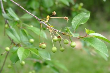immature cherry and cherry tree