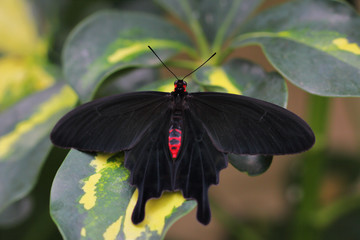 Black-red tropical butterfly on the leaf