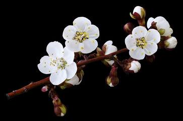 Spring white  flowers on a branch isolated on black  background with clipping path without shadows. Close-up. Flowers of apricot. Nature.