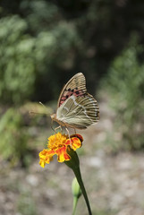 Butterfly (Argynnis pandora) on a flower