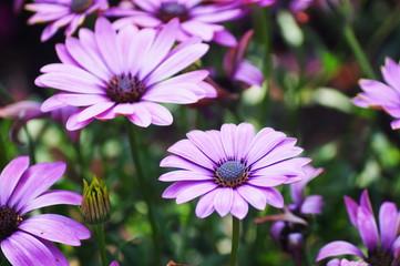 Hübsche lila Margeriten in der Natur