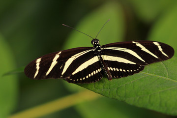 Tropical striped butterfly dido longwing (tiger longwing) on the leaf