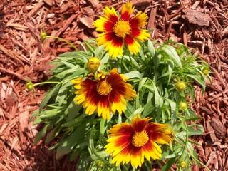 Sunny Orange and yellow Coreopsis Flowers