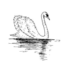 Vector swan illustration with reflection. Swimming elegant swan bird, beautiful wild nature sketch. Royal swan ink outline illustration, hand drawn animal.
