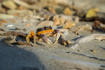 Friendly, smiling crab showing its claws on the beach.