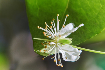 Flower eugenia uniflora surinam cherry with leaf in background macro photograph
