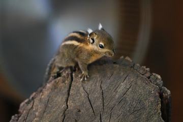 Little striped common chipmunk on the tree