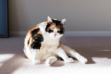 Closeup of calico cat on living room bedroom room carpet floor grooming distracted with soft sunlight, looking angry