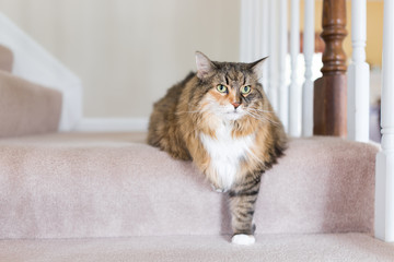 Maine coon calico cat funny resting one paw on carpet floor steps indoors inside house comfortable, large breed neck mane or ruff