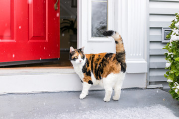 One scared confused calico cat standing outside in winter by stairs on front yard porch by door entrance to house during blizzard white storm, snowflakes falling