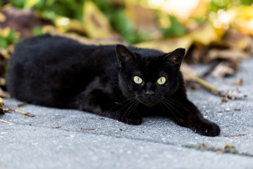 Stray black cat with piercing green eyes sitting on sidewalk streets in Sarasota, Florida