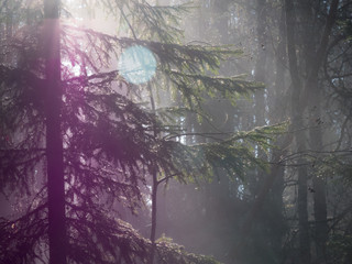 Foggy forest lens flare
