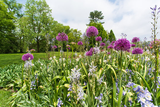 Field of blooming decorative onion flowers in spring garden