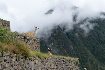 Llamas in the clouds