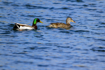 A mated pair of Mallard ducks swim in spring in the ripply water of the Verde River in Arizona