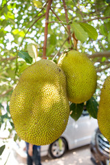 Jackfruit in thailand