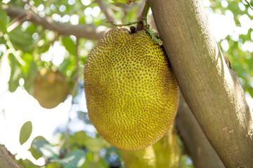 Jackfruit in thailand