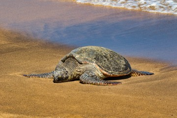 Giant green sea turtle basking in the sun on a beach on Maui.