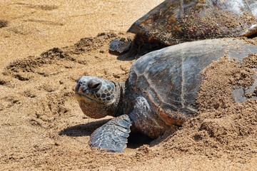 Giant green sea turtle staying cool in the sand on Maui.