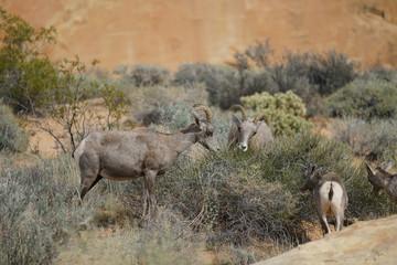 Wildlife in Valley of Fire SP