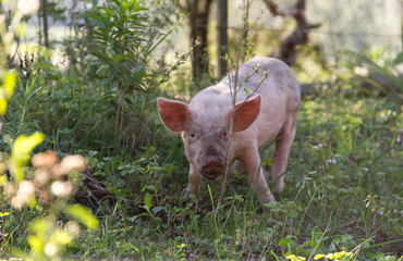 Livestock of loose pigs walking on the farm