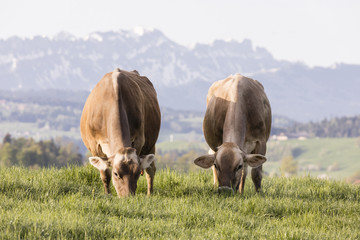 Wall Mural - Swiss brown cattle grazes on a spring morning on a meadow in the foothills of Switzerland