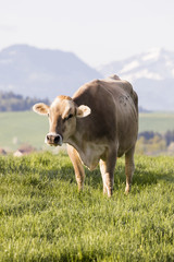 Fototapete - Swiss brown cattle stands on a spring morning on a meadow in the foothills of Switzerland