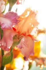 sunny iris flowers
