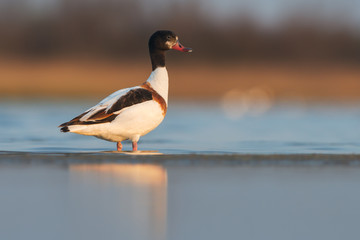 Common shelduck (Tadorna tadorna). Female