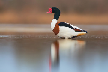 Common shelduck (Tadorna tadorna). Male