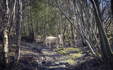 Sheep in Woods in North Wales