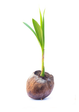 Sapling of Aromatic Coconut small tree. Grow out of seed isolated on white background.