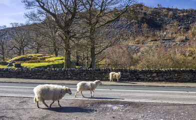 Sheep on Road in Wales