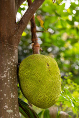 Jackfruit is a tropical fruits found in Thailand.
