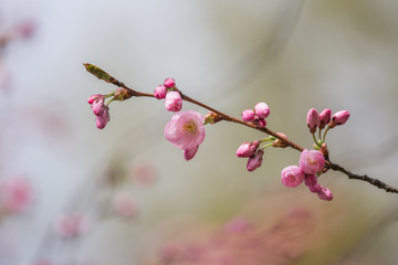 A beautiful sakura cherry blossoms in a sunny spring day. Cherry flowers in natural habitat. Sakura growing in park. Oriental spring atmosphere.