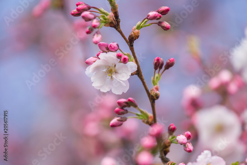 A Beautiful Sakura Cherry Blossoms In A Sunny Spring Day Cherry