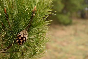 Green Pine and rain