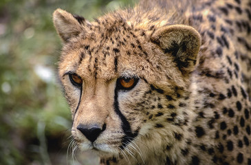 Close up on a head of wild cat cheetah