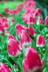 Red tulips under the sun in the summer