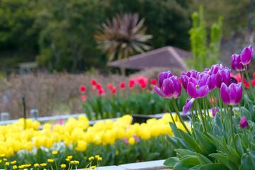 Purple tulips under the sun in the summer.