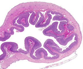 Stomach. Layers of the gastric wall