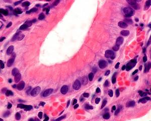 Gastric pit. Foveolar cells