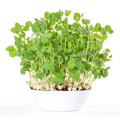 Snow pea microgreen in white bowl and potting compost. Shoots of Pisum sativum, mangetout or sugar peas. Young plants, seedlings, sprouts and cotyledons. Food photo, close up, front view, over white.