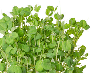 Snow pea microgreen on white background. Shoots of Pisum sativum, also called mangetout or sugar peas. Young plants, seedlings, sprouts and cotyledons. Macro food photo, close up, front view.