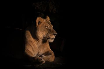 Löwin freigestellt