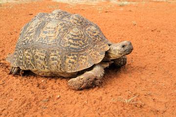 Leopard tortoise (Stigmochelys pardalis) peeking from its shell, South Africa.