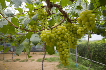 Green Grapes in the vineyard.
