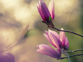 Blossoming of pink magnolia flowers in spring time, floral natural background